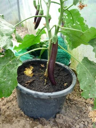 foto aubergine bij Willy