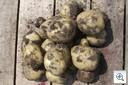 Aardappelen_uitgegeraven_oogst