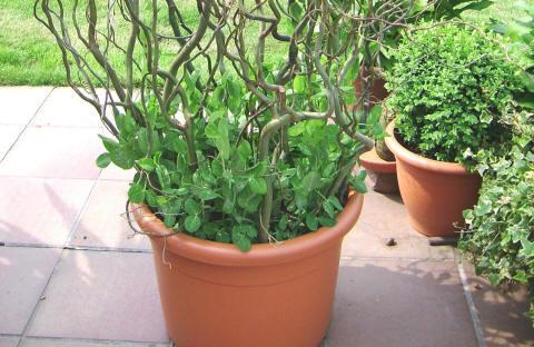 Groenten in potten erwten telen de serie deel 11 groenteninfo - Groenten in potten op balkons ...