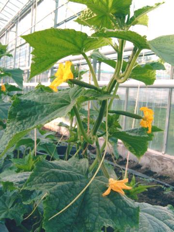 Komkommers telen bloei en vruchtdunning - De komkommers ...