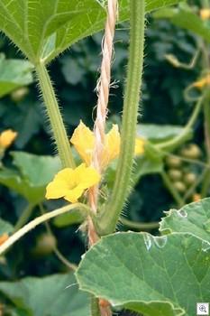 Meloen-mannelijke-bloem