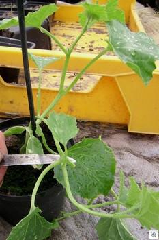 Meloen-scheut-bezig-met-afsnijden
