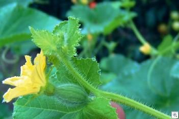 Meloen-vrouwelijke-bloem