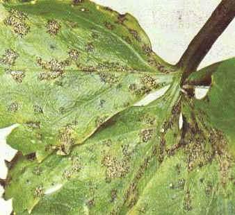 selderplaag bladvlekkenziekte selder septoria