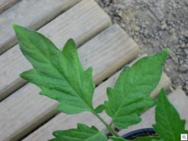 Zwarte_kleur_tomaten_bladeren