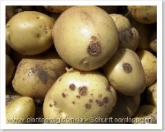 Aardappel schurft