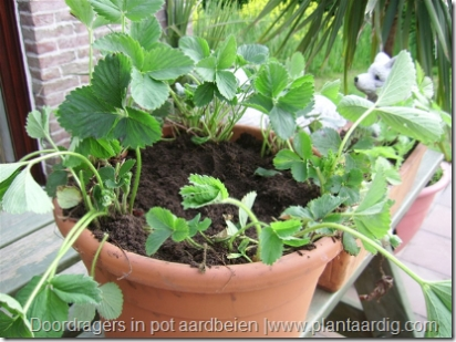 Aardbeien in pot telen, doordragers