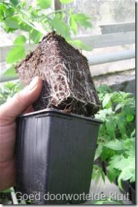Potkluit goed doorworteld van tomatenplant