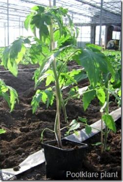 Tomatenplant  klaar om uit te planten