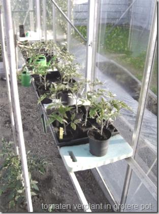 tomaten verplant in grotere pot