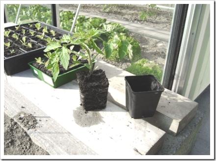 tomatenplant goed doorworteld