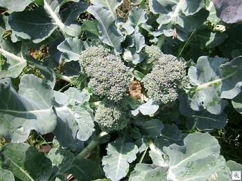 Broccoli_tweede_oogst