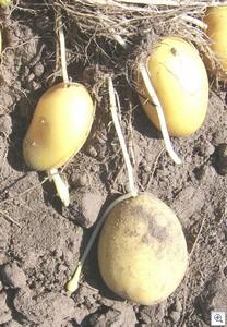 Doorwas_aardappelen_aanknolmetuitloper