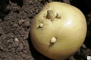 Doorwas_aardappelen_knol_uitlopertjes