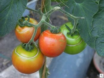 Tomaten-barsten-cirkelvormig