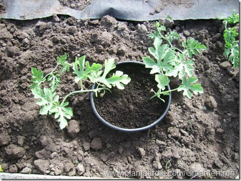 in pot uitgeplant