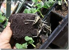 asperge-erwt-1mei-worteling