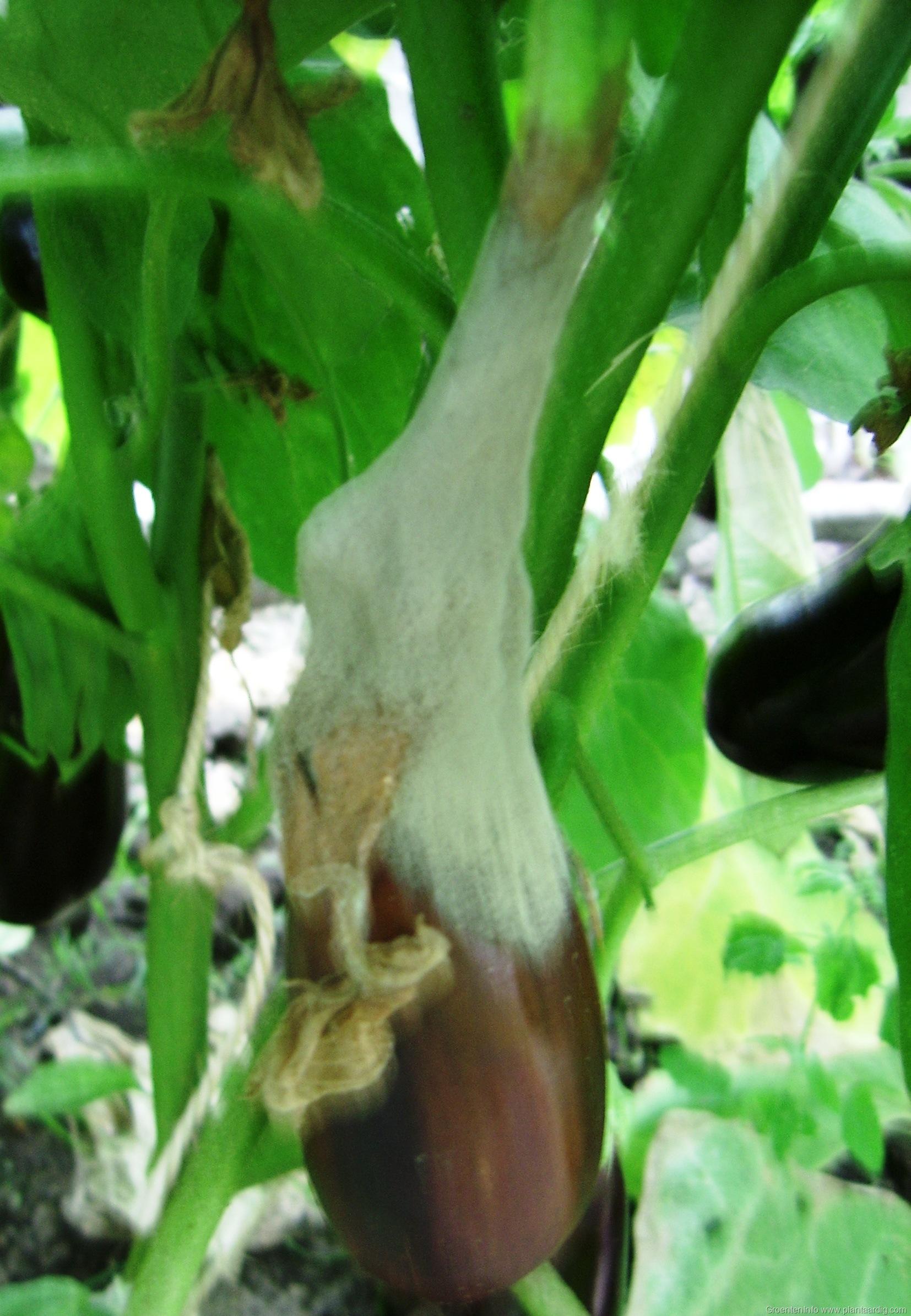 Botrytis, de grijze schimmel – groenteninfo