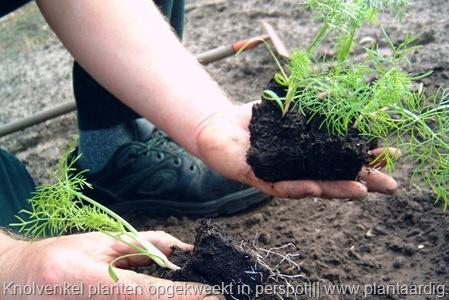 Knolvenkel Kweken Zaaien Of Planten Het Is Van Nature Een Zomer