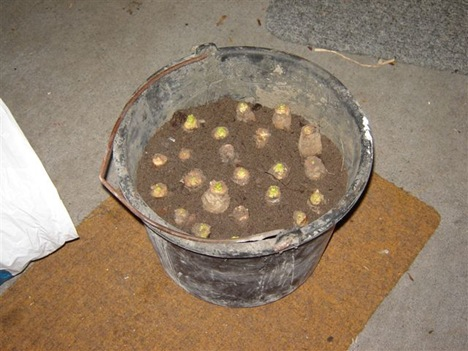 Witloofwortels ingezet in emmer