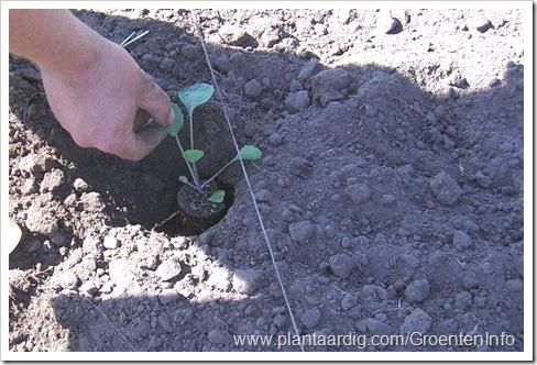 spruitkool-planten3