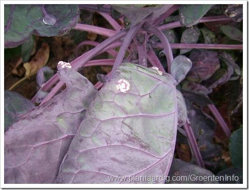 witte-roest-rode-spruitkool-bladeren