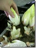 15-witloof-oogst-uit-bakken