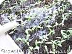 tomaten zaaien 2008-17