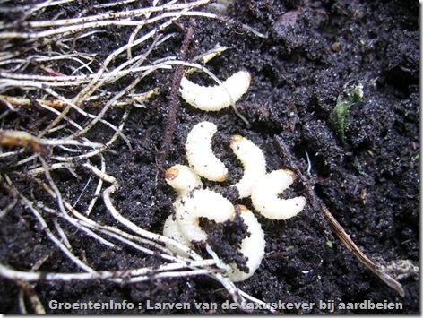 taxuskever-larven-aardbeien