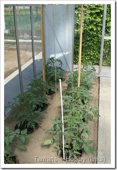 tomaten Hobby F1  kweken serre pot