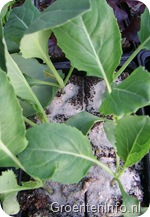 bloemkool plantjes
