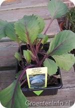 rodekool planten