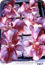 rode eikenbladsla