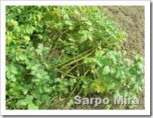 Sarpo Mira 004