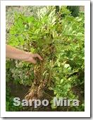 Sarpo Mira 006