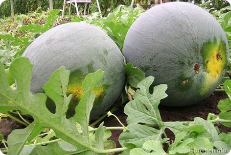 watermeloen rijp