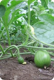 watermeloen vruchtzetting