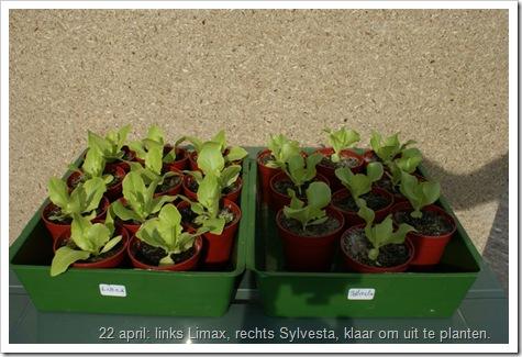 links Limax, rechts Sylvesta, kropsla klaar om uit te planten