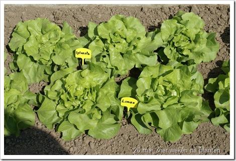 Kropsla, vier weken na planten, bijna oogstbaar