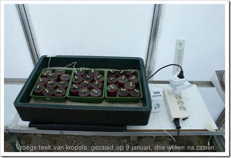 kropsla plantjes telen voor de vroege teelt.