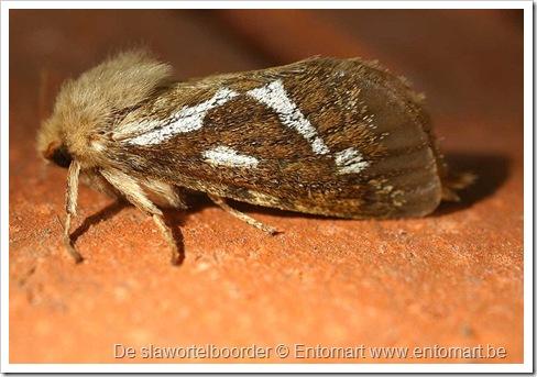 800px-Korscheltellus_lupulinus01