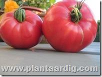 Coeur-de-Boeuf-tomaten (12)
