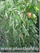 Coeur-de-Boeuf-tomaten (3)