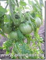 Coeur-de-Boeuf-tomaten (9)