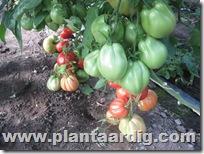 Coeur-de-Boeuf-tomaten-Corazon (1)