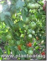 Coeur-de-Boeuf-tomaten-Fourstar (2)