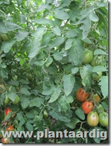 Coeur-de-Boeuf-tomaten-Fourstar (5)