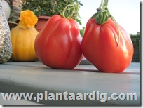 Coeur-de-Boeuf-tomaten-Fourstar (6)