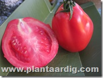 Coeur-de-Boeuf-tomaten-Fourstar (7)