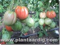 Coeur-de-Boeuf-tomaten-aurea (1)